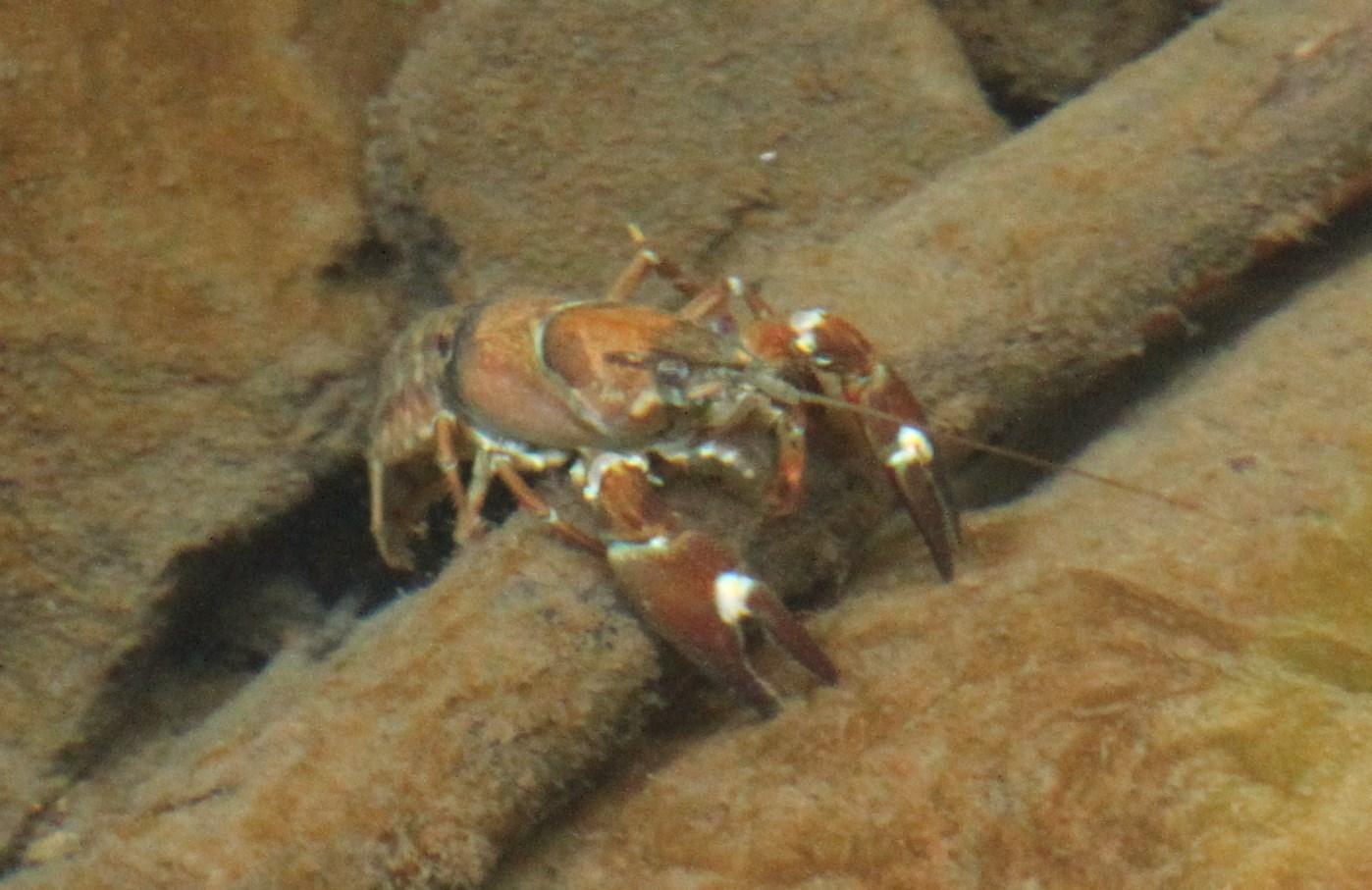Image of <i><i>Pacifastacus</i></i> (Pacifastacus) <i>leniusculus</i> (Dana 1852)