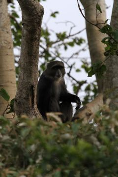 Image of blue monkey