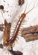 Image of Common centipede