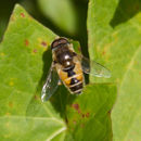 Image of Syrphid fly