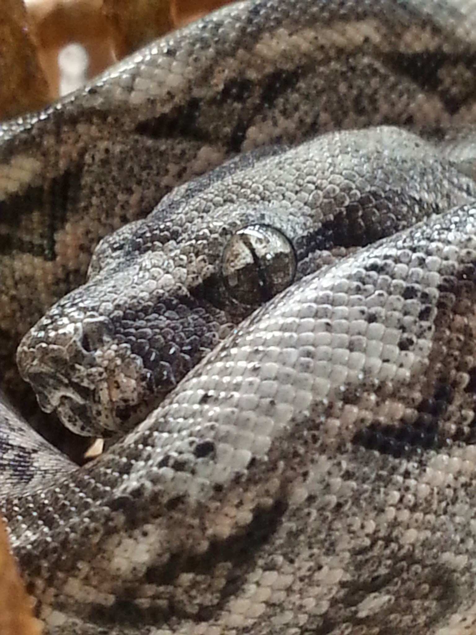 Image of Common boa constrictor