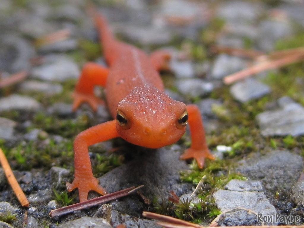 Image of Eastern Newt