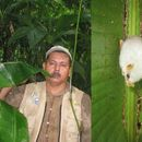 Image of Honduran White Bat