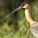 Image of Buff-necked Ibis