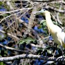 Image of Capped Heron