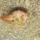 Image of <i>Ceuthophilus</i> (<i>Hemiudeopsylla</i>) <i>californianus</i> Scudder & S. H. 1862