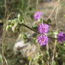 Image of <i>Allionia incarnata</i>