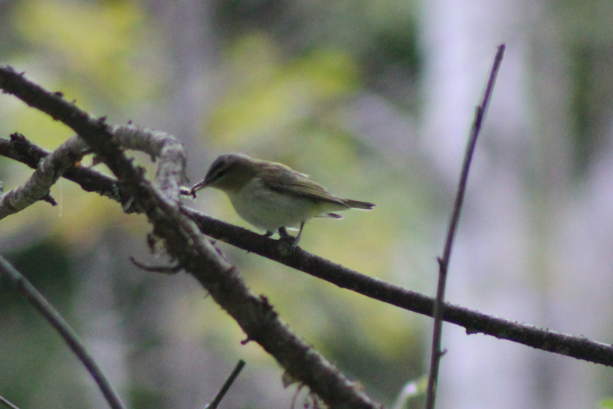 Image of Red-eyed vireo