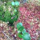 Image of <i>Calla palustris</i>