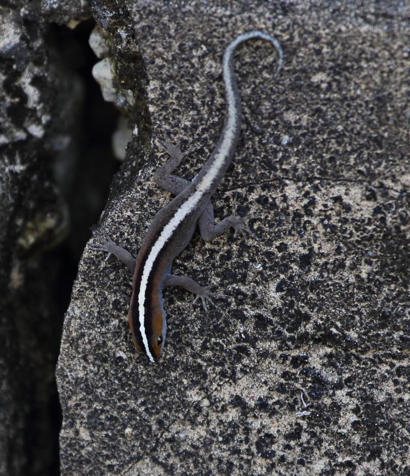 Image of Streak Lizard