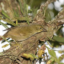 Image of Buff-browed Foliage-gleaner