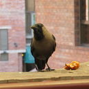 Image of House crow