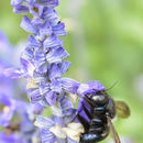 Image of Carpenter Bees