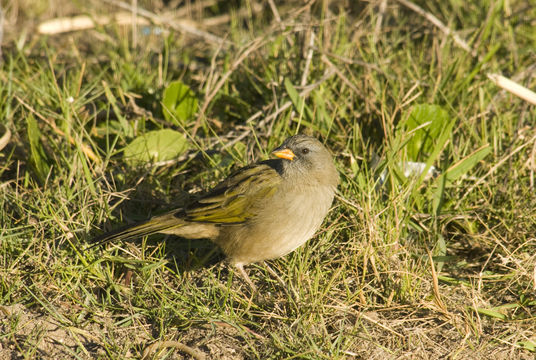 Image of Great pampa-finch