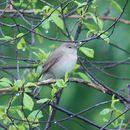 Image of Garden warbler