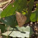 Image of Garden Webworm Moth