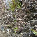 Image of <i>Arabidopsis thaliana</i>
