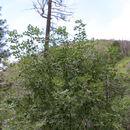 Image of <i>Fraxinus velutina</i>