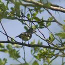 Image of Southern Scrub Flycatcher