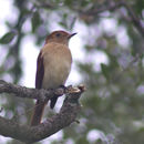 Image of Rufous Casiornis
