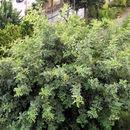 Image of <i>Ceratonia siliqua</i>