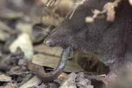Image of Northern Short-tailed Shrew