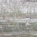 Image of Black-fronted Dotterel