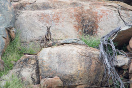 Image of Black-footed rock wallaby