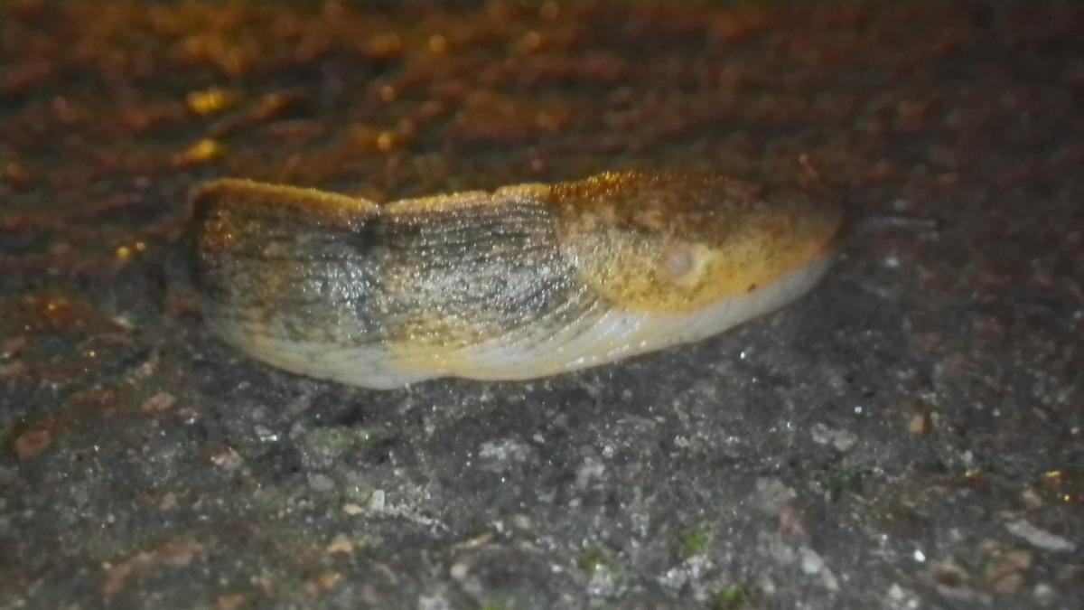 Image of <i>Tandonia sowerbyi</i> (A. Férussac 1823)