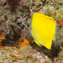 Image of Big long-nosed Butterflyfish