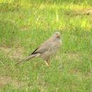 Image of Jungle Babbler