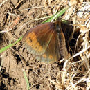 Image of Autumn Ringlet