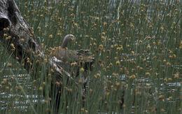 Image of Ashy-headed Goose