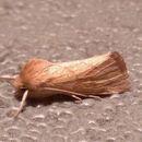 Image of V-lined Quaker Moth