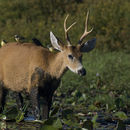 Image of Marsh Deer