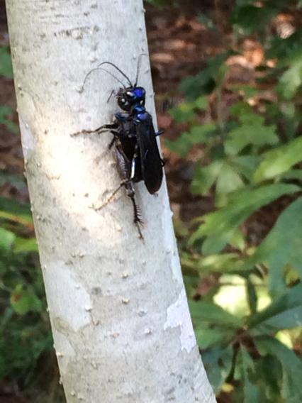 Image of Steel-blue Cricket Hunter