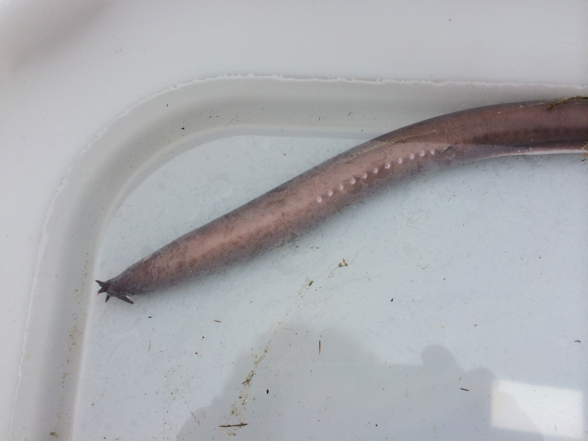 Image of California Hagfish