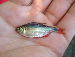 Image of Buenos Aires tetra