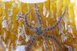 Image of Western Spiny Brittle Star