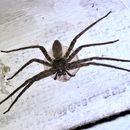 Image of Huntsman Spiders