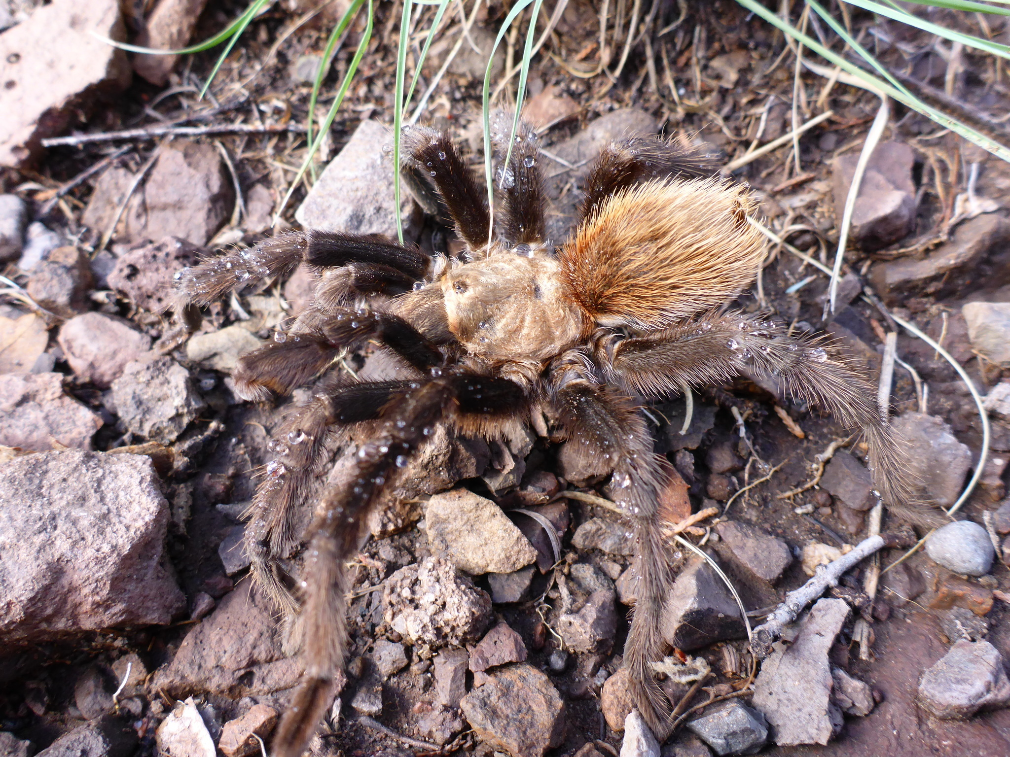 Image of Texas Brown Tarantula