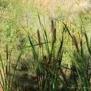 Image of <i>Typha domingensis</i>