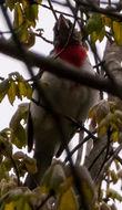 Image of Rose-breasted grosbeak