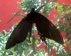 Image of <i>Papilio rogeri</i> ssp. <i>pharnaces</i> E. Doubleday 1846