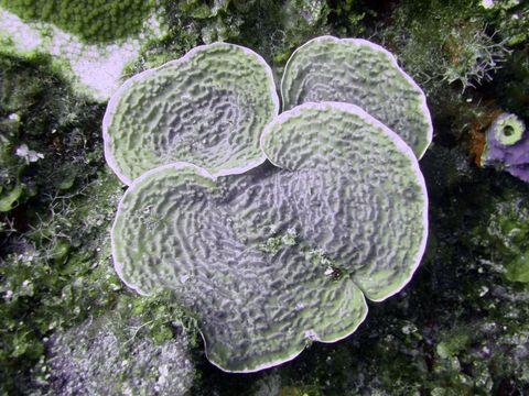 Image of Sunray lettuce coral
