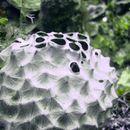 Image of <i>Ircinia strobilina</i> (Lamarck 1816)