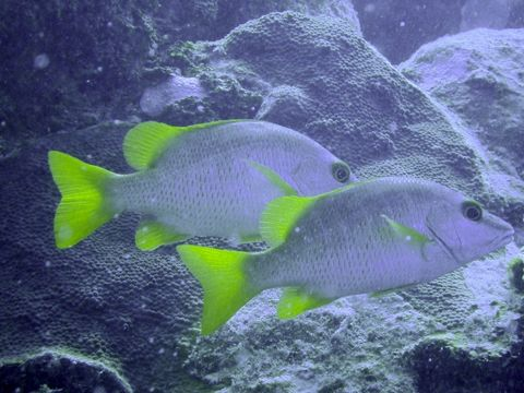 Image of Dogtooth Snapper