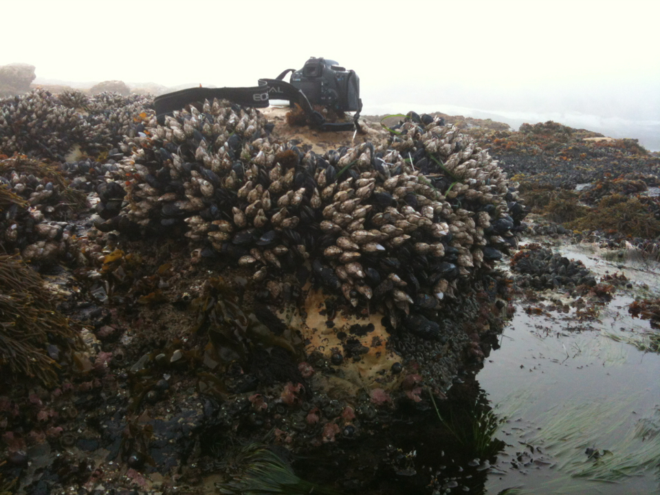 Image of goose-necked barnacle