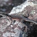 Image of Striped Lava Lizard