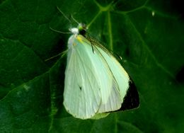 Image of <i>Leptophobia aripa</i> ssp. <i>elodia</i> (Boisduval 1836)